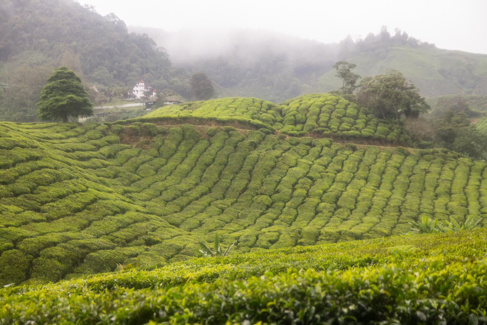 Cameron Highlands #1